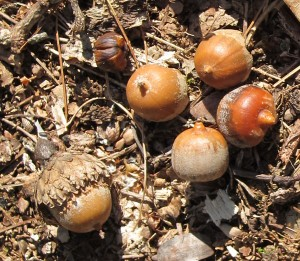 Photo of Acorns